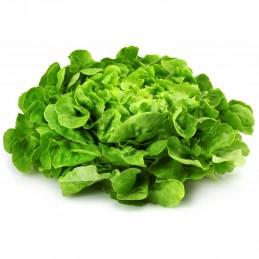 Salade Feuille Chene